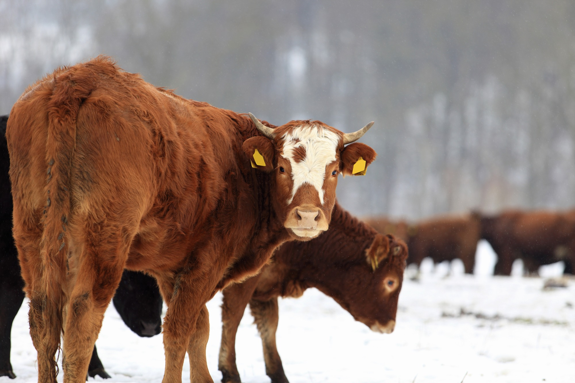Cows and snow, photo by: Diktatoor@Depositphotos